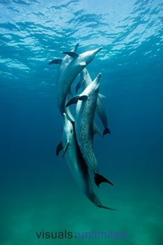 Atlantic Spotted Dolphins (Stenella frontalis) by Brandon Cole