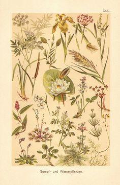Piante acquatiche 1901, eriofori, crescione, Smartweed, Reed, giunco, acutifoglia, Iris, Nymphaea, Cowbane, Featherfoil antica Litografia
