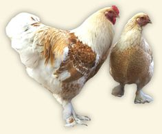 Brahma - calm and one of the biggest breeds, ok egglayer, nice meat, slow growing. Link to Danish description