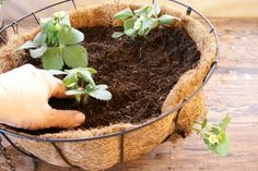 growing strawberries in containers A hanging basket offers an alternative that takes advantage of vertical space when you lack yard space for a strawberry (Fragaria x Types Of Strawberries, Growing Strawberries In Containers, Alpine Strawberries, Strawberry Varieties, Strawberry Planters, Strawberry Garden, Hanging Pots, Hanging Baskets, Hanging Gardens
