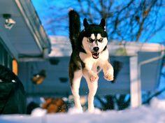 Flying Husky | by aveh587