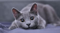 Russian Blue Cat Gallery - Grey Cat - Ideas of Grey Cat - best russian blue cat personality images ideas most affectionate cat breed how much a fluffy russian blue kitty / kitten price ? The post Russian Blue Cat Gallery appeared first on Cat Gig. Cute Cats And Kittens, Cool Cats, Kittens Cutest, Russian Blue Cat Personality, Best Cat Breeds, Grey Cat Breeds, Cute Cat Breeds, Tier Fotos, Mundo Animal