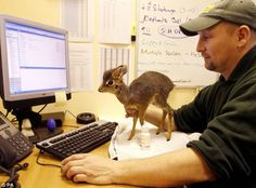 Oh my gosh...how sweet is that?  A tiny baby Dik-Dik that was rejected by its mother and is being hand raised.