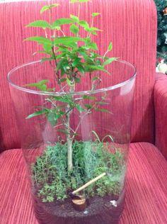 Bonsai de jaboticaba