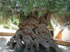 Cet olivier se trouve sur l'île de Crète, son âge est estimé à environ 3.000 ans ! Il produit encore des olives, très prisées… © DR