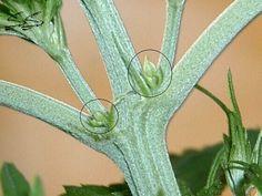 Male or Female Marijuana Plant?  Look close!  http://www.CannabisTrainingUniversity.com