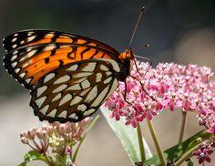 Regal Frittilary, KWEC Butterfly Count, 7/9/16 KWECButterfly Garden.