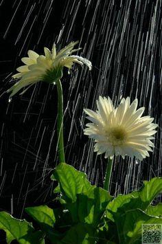 On rainy days, can you hear the flowers smiling? Walking In The Rain, Singing In The Rain, Rainy Night, Rainy Days, Rainy Mood, Rainy Weather, Dew Drops, Rain Drops, Smell Of Rain