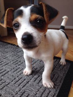 He wouldn't stay still long enough for a decent photo, but today I got one! Meet Archie the 10 week old miniature Jack Russell. - Imgur