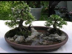Wonderful Bonsai Trees Ideas For Indoor Garden. If you are looking for Bonsai Trees Ideas For Indoor Garden, You come to the right place. Outdoor Bonsai Tree, Indoor Bonsai, Bonsai Plants, Bonsai Garden, Garden Trees, Fairy Gardening, Gardening Quotes, Succulent Gardening, Flower Gardening