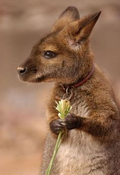 Not just a baby kangaroo. a baby kangaroo with a collar and a license. Cute Creatures, Beautiful Creatures, Animals Beautiful, Cute Baby Animals, Animals And Pets, Funny Animals, Strange Animals, Wild Animals, Australian Animals