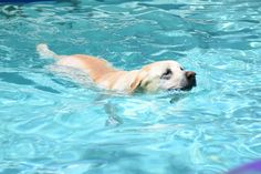 Yellow lab in the pool!
