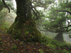 Mystisches Grün: Der Feenwald auf Madeira – Waldspaziergang.org *Laurisilva* Places To See, Places Ive Been, Paradise Travel, Old Trees, Lighthouse, Beautiful Homes, Sailing, Beautiful Pictures, Explore