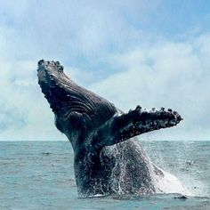 Depoe Bay, OR: Oregon's whale migration peaks in December. But some smart gray whales live all year in Depoe Bay. For a nose-to-blowhole encounter, book a 90-minute trip with Whale Research EcoExcursions ($40; 541/912-6734). For a splurge night near the big guys, book a room at cliffside Whale Cove Inn ($395; whalecoveinn.com) and slurp garlicky cioppino at Tidal Raves ($$; 279 N.W. U.S. 101; 541/765-2995), where a window seat lets you whale-watch. Photo: Carrie Newell, Sunset.com