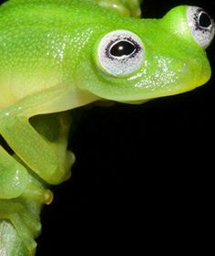 This Newly Discovered Frog Looks Exactly Like Kermit