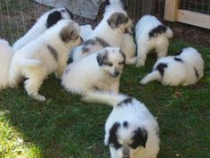 Great Pyrenees Dog pHOTO | great pyrenees puppies great pyrenees puppies great pyrenees puppies ...