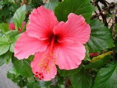 Pink Hibuscus
