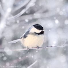 <3 The Carolina Chickadee.  Watch these tiny groups of white fluff hopping from branch to branch year round. Can empty the bird feeders in no time!