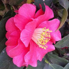 #camellia #flowers #spring #nofilter #georgia
