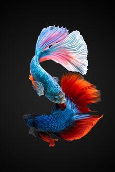 Pretty Fish, Beautiful Fish, Colorful Fish, Tropical Fish, Poisson Combatant, Beautiful Sea Creatures, Fish Wallpaper, Beta Fish, Siamese Fighting Fish
