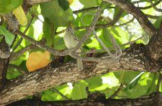 Foto guaracava-de-barriga-amarela (Elaenia flavogaster) por Evaldo HS Nascimento | Wiki Aves - A Enciclopédia das Aves do Brasil