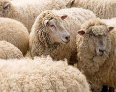 sheep buckscountyframes ETSY