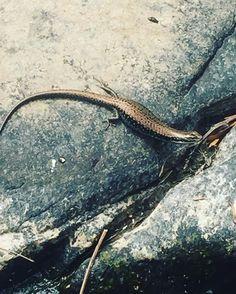 Una #amiga que me encontré en #Lorne #victoria #graydays #lizard