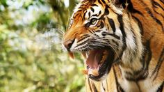 Angry Tiger HD http://ift.tt/2lXg0Gl