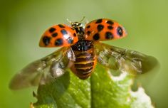 ladybird / lieveheersbeestje by friedkampes, via Flickr