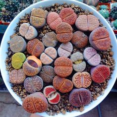 "setbabiesonfire: ""sin-sation: "" setbabiesonfire: "" "" What is this "" Lithops, they're succulents (those spirally cactus-like plants usually - these are a different genus). (: "" living rocks!"