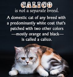 Fact about calico cats  My Josie was a calico...I miss her!
