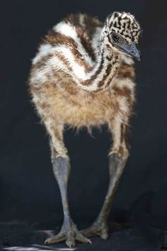 Emu chick.