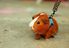 Guinea walk! I used to walk my guinea pigs, too. Their sweaters are pink.
