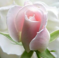 maravilloso capullo de rosa de mi color <3<3<3