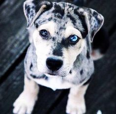 I Love all Dog Breeds: 10 of the fastest running dogs Catahoula Leopard Rare Dogs, Rare Dog Breeds, Unique Dog Breeds, Baby Animals, Funny Animals, Cute Animals, Cute Cats And Dogs, Dogs And Puppies, Doggies