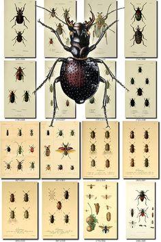 INSECTS-93 Collection of 247 vintage illustration Manticora Abacetus, Acalles, Acanthoscelis, Achenium, Acilius, Adimonia, Aepus, Agenius, Agestrata, Agonum, Agra, Agrilus, Agrion, Altica, Amisoplia, Ammophila, Amphistoros, Anchomenus, Anobium, Antherophagus, Anthia, Anthicus, Anthonomus, Anthribus, Apate, Aphanisticus, Aphis, Aphodius, Apion, Apotomus, Apterocaulus, Apteroessa, Aptinus, Arcopagus, Areoda, Argutor, Aromia, Asilus, Aspidiphorus, Attagenus,