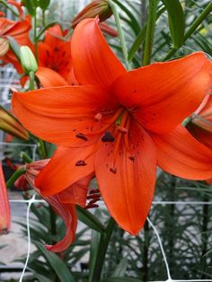 Tiger Lily 'Wine Flavour'