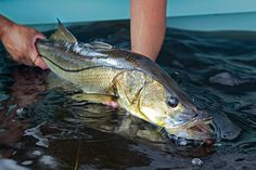 How to Catch Snook on Florida's Gulf Coast | Salt Water Sportsman. BLIND-CASTING: Looking for snook only in the ­mangroves is a common mistake. During periods of low water, try nearby troughs and oyster bars. Learn more about reeling in these fish.
