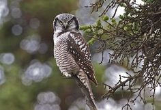 It looks like it's hovering in midair at first glance.  (Northern Hawk Owl)