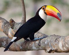 Tucano  Love this bird!