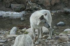 White wolf + background inspiration
