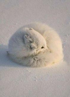 Arctic fox   Incredible Pics