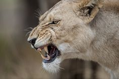 A Very Angry Lioness. (by Bahaadeen Al Qazwini). A Very Angry Lioness. (by Bahaadeen Al Qazwini). Angry Animals, Cute Animals, Brust Tattoo, Female Lion, Lions Photos, Cat Anatomy, Cat Body, Carnivore, Cat Character