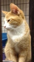 Zucchini is an adoptable Domestic Short Hair - Orange And White Cat in Cumming, GA. Hi there! My name isZucchini, a precious baby male short hair orange and whiteborn around 5/11/2012. Currently I l...
