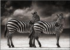 Zebras - Palabras Breves: Nick Brandt