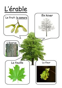 Fiche érable Teaching Science, Science For Kids, Science And Nature, Theme Nature, Permaculture Design, Kindergarten Lesson Plans, Nature Study, Learn French, Horticulture
