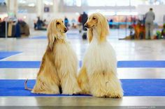 Waiting for the Results Tibetan Terrier, Afghan Hound, Poodles, Heavens, Afghans, Dog Grooming, Terriers, Animals And Pets, Best Dogs