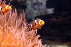 Fine Art Clown Fish // Photography by SecondAvePhotography on Etsy, $28.00