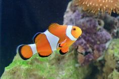 15. Clownfish - Perhaps the most loved tropical fish of all, the clownfish is found in the Indian and Pacific oceans and live in sheltered reefs. Their vibrant, clearly separated stripes are widely known thanks to the title character of 'Finding Nemo' and they are an aquarium favorite.
