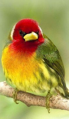 Birds ¨Rainbow¨ red headed barbet - Costa Rica Kinds Of Birds, All Birds, Little Birds, Love Birds, Angry Birds, Pretty Birds, Beautiful Birds, Animals Beautiful, Cute Animals